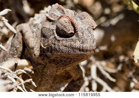 Chameleon In Bush.