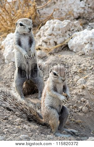 Male And Female Ground Squirrel