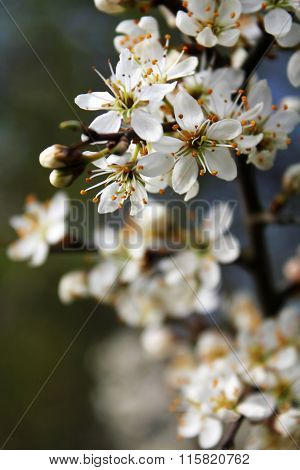 white blackthorn flowers