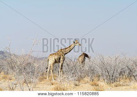 Giraffes In Akazia Bushes