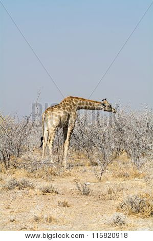 Giraffes In Acazia Field