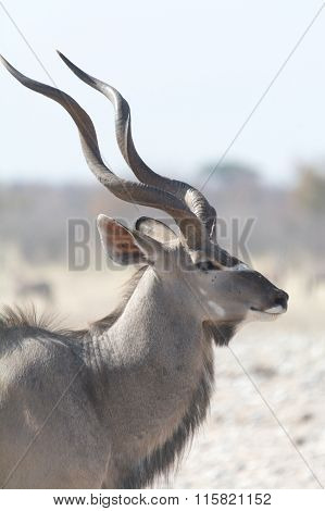 Male Kudu With Horns