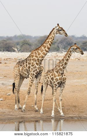 Two Giraffes At Waterhole