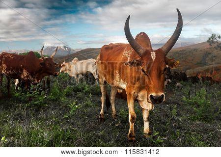 Zebu cows on the island of Madagascar