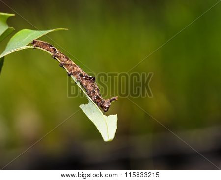 Caterpillar Of Blue Begum Butterfly