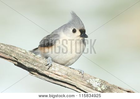 Titmouse On A Log