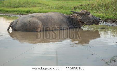 Buffalo Sleeping In Water
