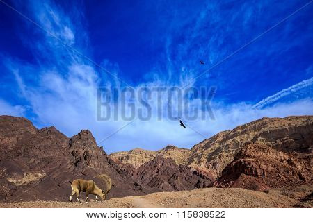 Sharp-horned mountain goat in the Eilat Mountains.Warm January day