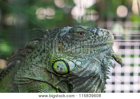 Close-up Iguana with beautiful blurred Bokeh background