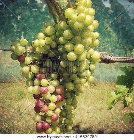 Green and red grapes in a vineyard