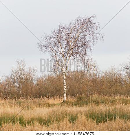 Bare Silver Birch (betula Pendula)