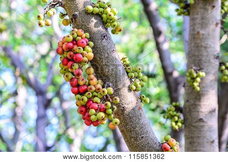Red Fig Fruits On Tree In Forest.