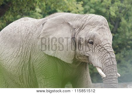 African elephant or Loxodonta africana largest land animal in the world