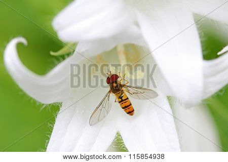 A Hover fly nectaring at White Pouffe Milky Bellflower (Campanula Latifolia, Alba)