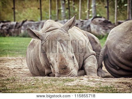 White Rhinoceros (ceratotherium Simum Simum), Animals Scene