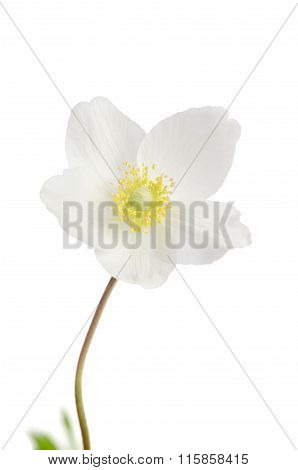 White Anemone Flower  Isolated On White Background