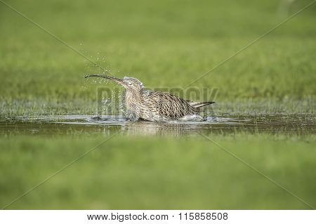 Curlew, Numenius arquata, washing itself in a puddle
