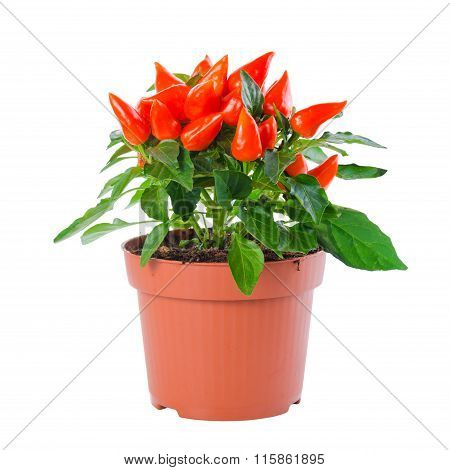 Beautiful Orange Hot Chili Peppers In Pot Is Isolated On White Background, Close Up