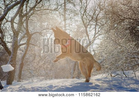 Purebred German Shepherd Playing In The Snow.