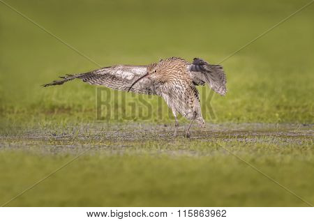 Curlew Numenius arquata flying from a puddle