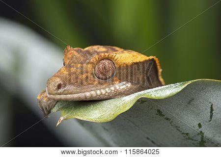 Gecko Peeking over Leaf