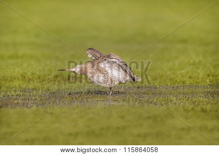 Curlew standing on the grass, grooming itself