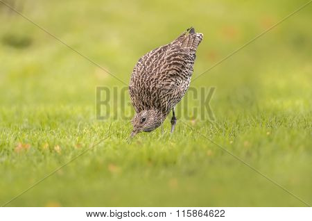 Curlew Numenius arquata feeding on the grass