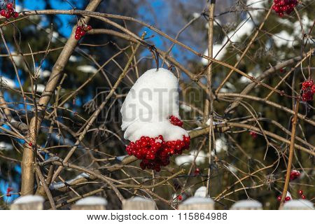 The Red Snowball Tree On A Winter Day.