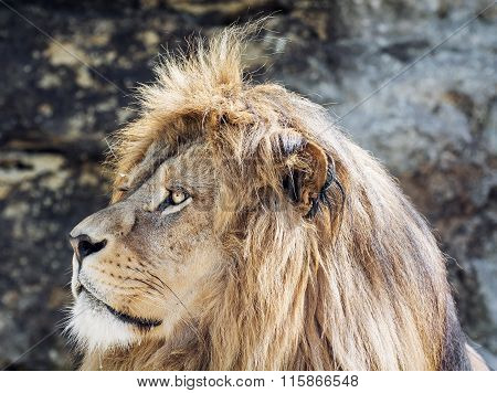 Barbary Lion Portrait (panthera Leo Leo), Critically Endangered Species