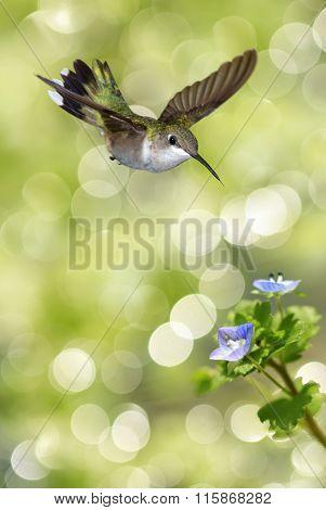 Vertical Image Of Hummingbird Feeding From Blue Flowers