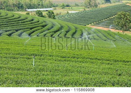 Landscape Of Tea Plantation In Chiang Rai, Thailand