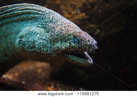 Giant Moray Eel With Open Mouth