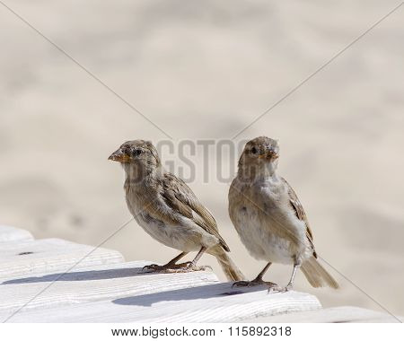 two sparrows on the beach