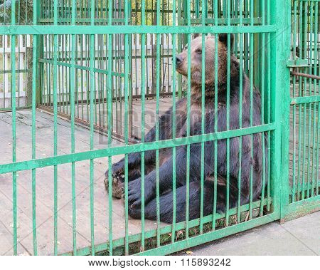 Brown Bear Behind Bars In A Cage
