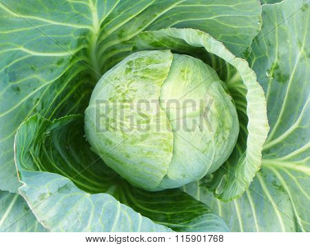 Head Of Cabbage Of The Cabbage On Background Green Sheet