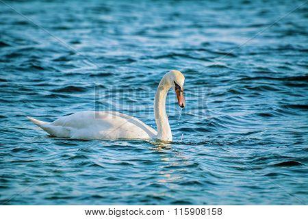 White Swan On Black Sea