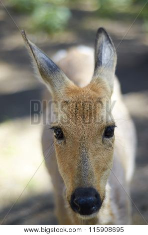 Hornless Deer Close-up In Wild Nature