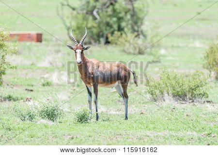 Blesbok Or Blesbuck