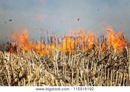 Fire In The Cornfield After Harvest.