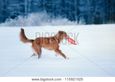 Dog Nova Scotia Duck Tolling Retriever  Walking In Winter Park, Playing With Flying Saucer