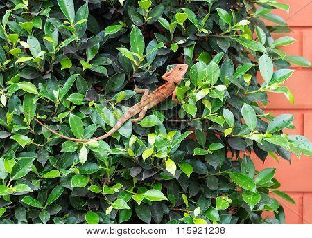 Small Red Chameleon