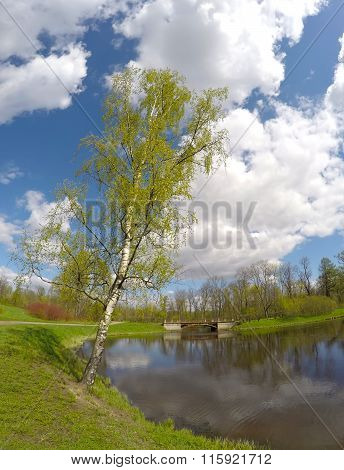 Park in the suburb of St. Petersburg Russia. The birch bent over the lake.