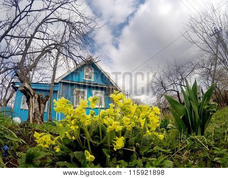 Bush of a primrose and wooden rural house