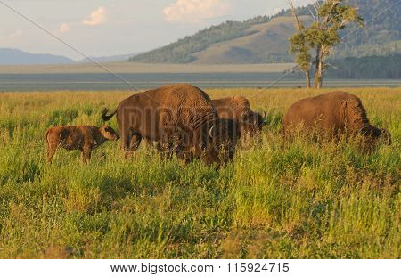Closeup of a North American Buffalo herd on the Wyoming plain in Yellowstone at dawn