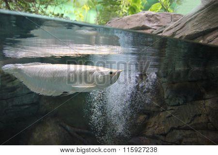 Silver arowana fish underwater