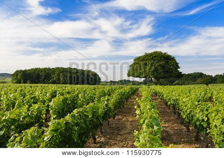 Vineyards Of Frontenas Village, Beaujolais, France