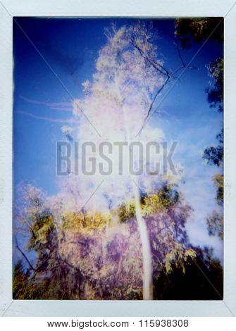 Aspen Tree Blur