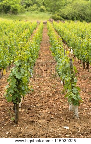 Young Vineyards For Red Wine