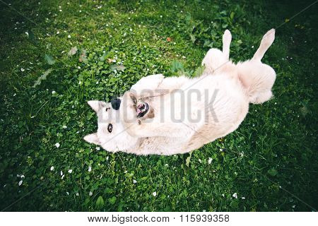 Happy white Dog laying in grass outdoor Summer nature