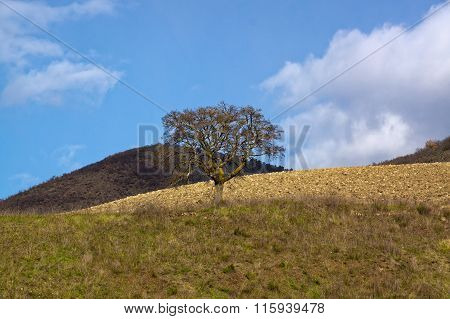 Lonely tree on the hills of Italy.